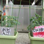 ミニトマト?成長日記②